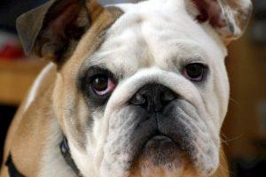 adorable-animal-bulldog-40544
